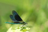 D4S_3418F bosbeekjuffer (Calopteryx virgo, Beautiful Demoiselle), male.jpg