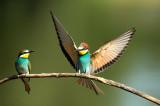 D4S_2473F bijeneter (Merops apiaster, European Bee-eater).jpg
