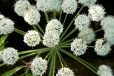 500_4989F waterscheerling (Cicuta virosa, Cowbane).jpg