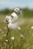 500_4914F veenpluis (Eriophorum angustifolium, Common Cottongrass).jpg