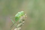 Grote groene Sabelsprinkhaan (Tettigonia viridissima)
