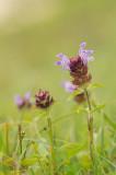D4S_7629F gewone brunel of bijenkorfje (Prunella vulgaris, bijenkorfje).jpg
