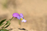 D4S_9707F duinviooltje (Viola curtisii, Dune pansy).jpg