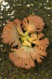 D4S_0685F waaiertje (Schizophyllum commune, Split gill).jpg