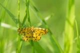 D4S_4331F boterbloempje (Pseudopanthera macularia, Speckled yellow).jpg