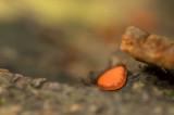 D4S_2445F gewone wimperzwam (Scutellinia scutellata, Eyelash cup).jpg