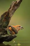D4S_3505F grote kruisbek (Loxia pytyopsittacus, Parrot crossbill).jpg