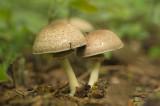 D4S_1602F parelhoenchampignon (Agaricus moelleri, Inky mushroom).jpg