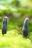 D4S_1762F houtknotszwam met rijpe sporen (Xylaria polymorpha, Dead man's fingers).jpg