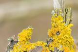 D4S_8154F groot dooiermos (Xanthoria parietina, Common orange lichen).jpg