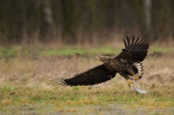 D4S_7555F zeearend (Haliaeetus albicilla, White-tailed Eagle).jpg