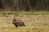 D4S_7568F zeearend (Haliaeetus albicilla, White-tailed Eagle).jpg