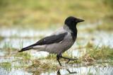 D4S_7824F bonte kraai (Corvus cornix, Hooded crow).jpg