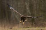 D4S_7702F zeearend (Haliaeetus albicilla, White-tailed Eagle).jpg