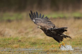 D4S_7769F zeearend (Haliaeetus albicilla, White-tailed Eagle).jpg