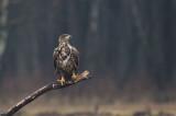 D4S_6958F zeearend (Haliaeetus albicilla, White-tailed Eagle).jpg
