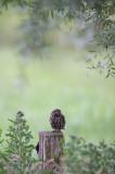 D40_2108F steenuil (Athene noctua, Little Owl).jpg