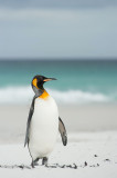 700_8196F koningspinguin (Aptenodytes patagonicus, King Penguin).jpg