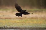 D4S_7613F raaf (Corvus corax, Northern Raven).jpg