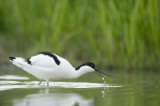 D4S_8116F kluut (Recurvirostra avosetta, Pied Avocet).jpg
