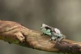 D4S_0305F melkkikker (Trachycephalus resinifictrix).jpg