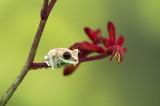 D4S_0989F Leptopelis uluguruensis.jpg