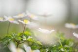 D4S_1057F bosanemoon (Anemone nemorosa, Wood anemone).jpg