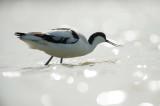 D4S_2790F kluut (Recurvirostra avosetta, Pied Avocet).jpg
