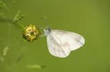 D4S_4256F boswitje (Leptidea sinapis, Wood white).jpg