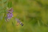 D4S_4143F kolibrievlinder (Macroglossum stellatarum, Hummingbird Hawk-moth).jpg