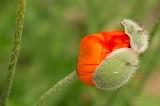 D4S_3987F grote klaproos (Papaver rhoeas, Common poppy).jpg