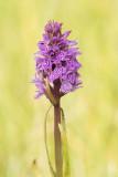 500_4868F gevlekte rietorchis (Dactylorhiza majalis subsp. praetermissa var. junialis, Southern marsh orchid or Leopard mar).jpg