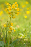 D4S_9895F gulden sleutelbloem (Primula veris, common cowslip).jpg