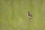 D4S_8267F paapje (Saxicola rubetra, Whinchat).jpg