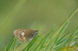 D4S_8558F tweekleurig hooibeestje (Coenonympha arcania, Pearly Heath).jpg