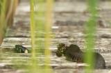 D4S_8095F ringslang (Natrix natrix, grass snake) .jpg