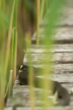 D4S_8101F ringslang (Natrix natrix, grass snake).jpg