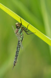 D4S_7978F glassnijder (Brachytron pratense, Hairy Dragonfly).jpg