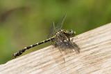 D4S_7732F kleine tanglibel (Onychogomphus forcipatus, Small pincertail).jpg
