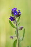 D4S_8406F gewone ossentong (Anchusa officinalis, Common bugloss).jpg