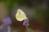 D4S_9816F klein koolwitje (Pieris rapae, Small White).jpg