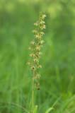 D4S_3280F brede wespenorchis (Epipactis helleborine, Broad-leaved helleborine).jpg