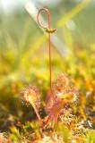 D4S_3973F kleine zonnedauw (Drosera intermedia, Oblong-leaved sundew).jpg