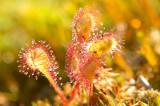 D4S_3980F kleine zonnedauw (Drosera intermedia, Oblong-leaved sundew).jpg