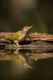D4S_5285F groene specht (Picus viridis, Green Woodpecker) juv..jpg