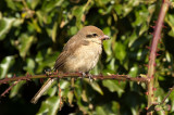 D4S_3602F bruine klauwier (Lanius cristatus, Brown Shrike).jpg