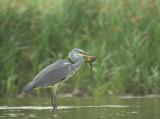 D4S_6287F blauwe reiger (Ardea cinerea, Grey heron) + meerkikker (Pelophylax ridibundus, Marsh frog).jpg