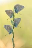 D4S_7545F icarusblauwtje (Polyommatus icarus, Common Blue).jpg