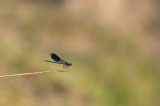 D4S_5520F weidebeekjuffer (Calopteryx splendens, Western Demoiselle).jpg