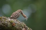 D40_2224F steenuil (Athene noctua, Little Owl).jpg